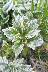 1 Frosty leaves