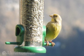 15 Greenfinch