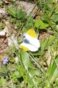 2 Orange Tip Butterfly