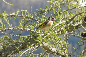 23 Goldfinch