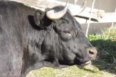 7 Val d'Hérens cow