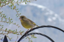 7 Greenfinch