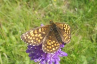 1 Heath Fritillary