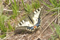 11 Common Swallowtail