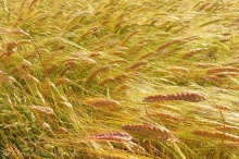 13 Barley