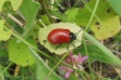 13 Red bug