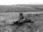15 Tree stump (bw)