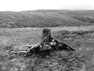 15 Tree stump (bw)
