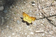 16 Speckled Yellow moth