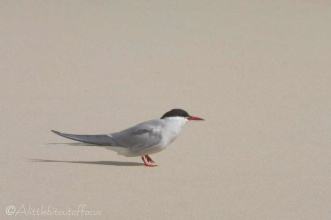 19 Arctic Tern