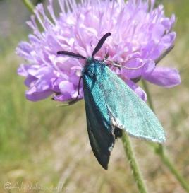 22 Forester Moth
