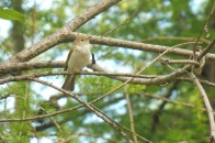 I'm advised that this is a Western Bonelli's Warbler