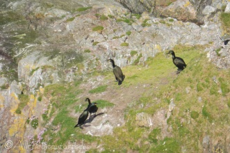 4 Cormorants