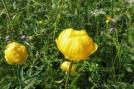 4 Globeflower