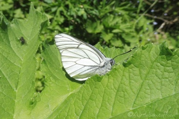 6 Black-Veined White