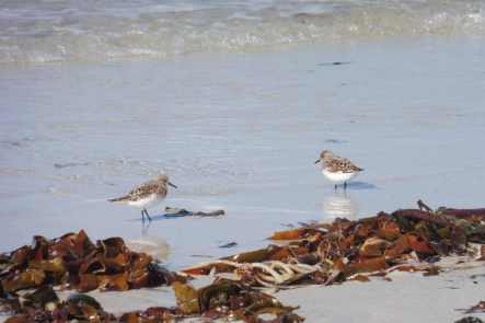 7 Sandpipers