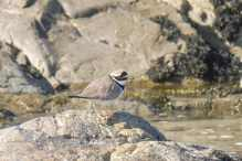 9 Ringed Plover