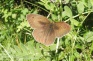 1 Meadow Brown (I think)