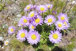 10 Alpine Asters
