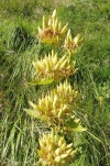10 Yellow Gentian