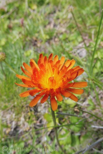 11 Orange Hawkweed