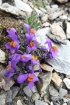 12 Alpine Toadflax