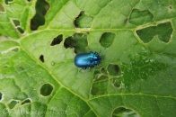 12 Blue Mint Beetle (I think)(1)