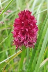13 Red Vanilla Orchid (I think)
