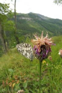 14 Marbled White underside
