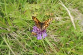 15 Heath Fritillary (I think)