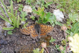 17 Marsh Fritillary (I think)
