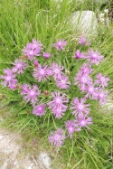 19 Alpine Knapweed