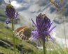 19 Butterfly and Rampion