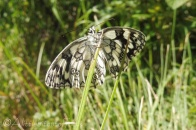 2 Marbled White underside