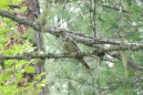 23 Mistle Thrush (I think)