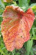 24 Red leaf