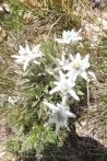 25 Edelweiss