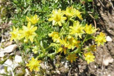 27 Yellow Saxifrage