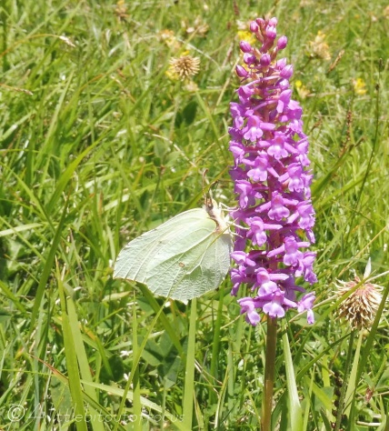 28 Brimstone on Fragrant Orchid