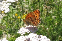 29 Marbled Fritillary (I think)