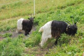 29 Valais Blackneck goats