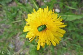 33 Mint Leaf Beetle