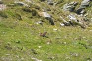 36 Marmot