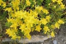 4 Yellow Saxifrage