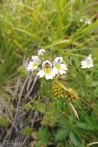 5 Common Eyebright