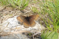 6 Almond-Eyes Ringlet (I think)