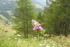 6 Marbled White