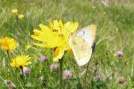 6 Mountain Clouded Yellow