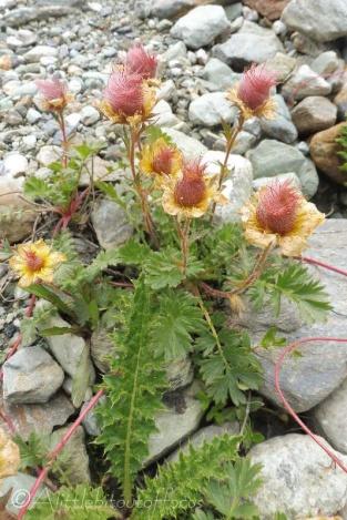 7 Amazin alpine flowers