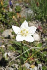 7 Grass of Parnassus